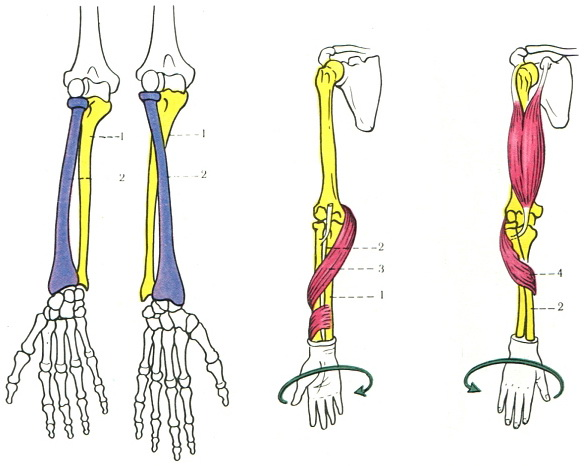 Connecting The Bone Of The Forearm Sindesmology Anatomy Of Human