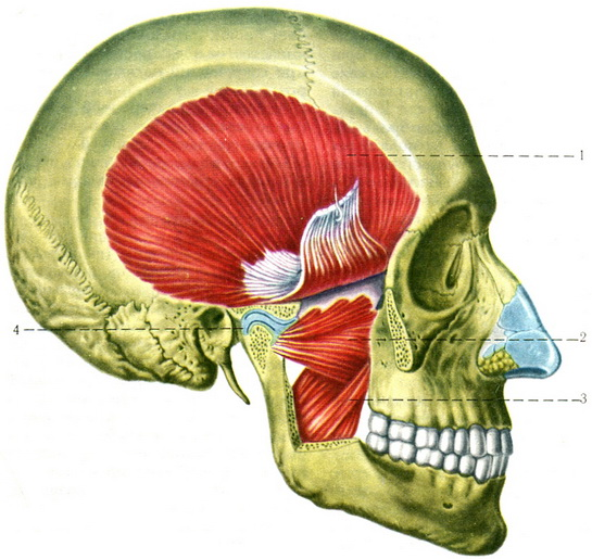 The chewing muscles | Epidemiology | Anatomy of human