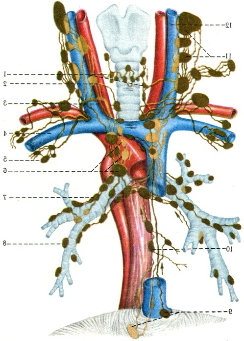 PVS & lymphatic system ch. 20 ?s Flashcards Preview