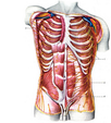 human Anatomy (structure of the internal organs in pictures