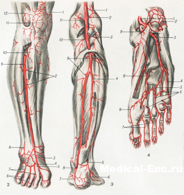 artery front surface of the tibia and rear foot popliteal and posterior surface of tibia the plantar surface of the foot in pictures scheme