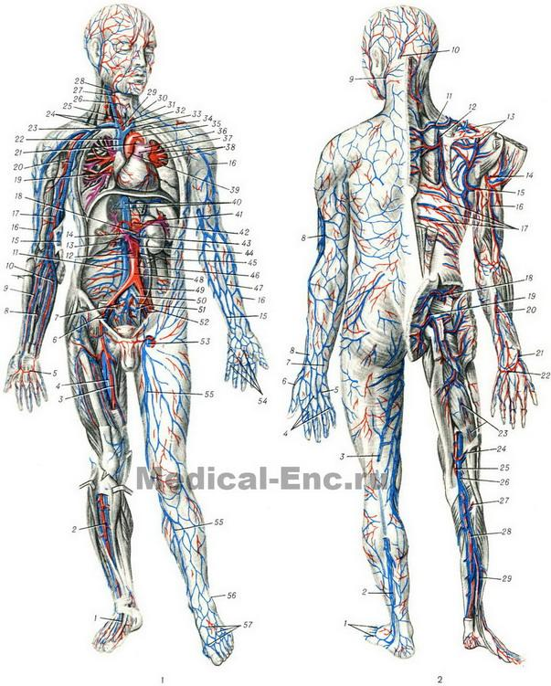 cardiovascular (circulatory) system in pictures