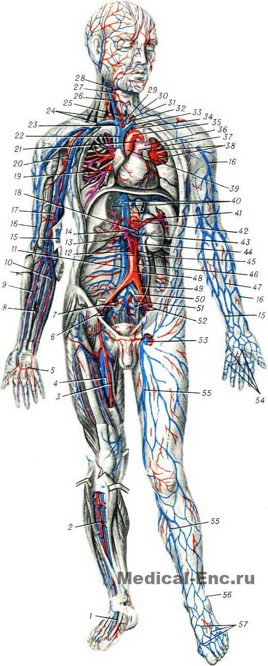 Diagram Of The Human Vessels