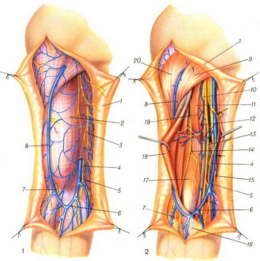 superficial and deep vessels and nerves front of the shoulder