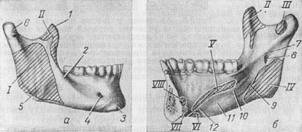 the lower jaw and places of attachment of muscles