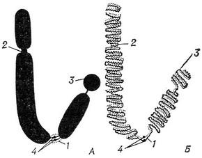 the structure of the normal chromosomes