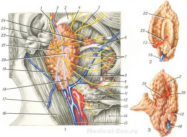 the topography of the parotid gland