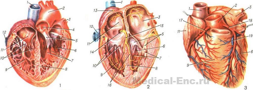 the human heart structure