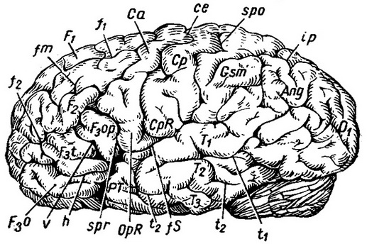 furrow and the brains of the outer surface of the left cerebral hemispheres of the brain