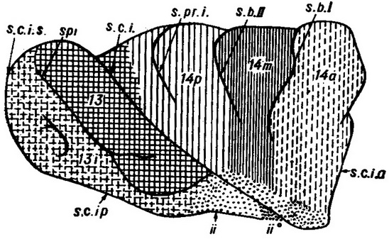 furrow outer surface of the island (scheme)