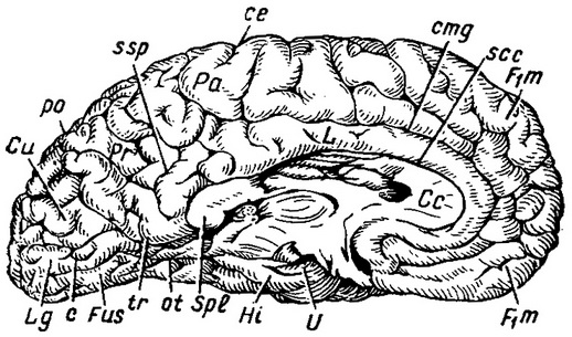 furrow and the brains of the inner surface of the left cerebral hemispheres of the brain