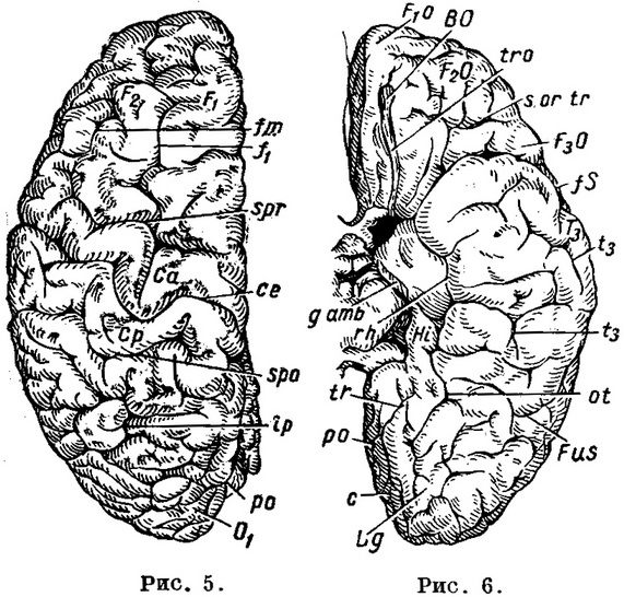 furrow and the brains of the upper and lower surface of the left cerebral hemispheres of the brain