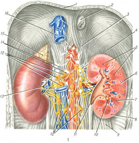 the structure of a human kidney