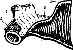 the structure of the wall of the small intestine