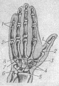 the joints of the hand