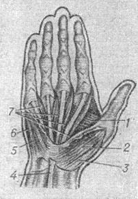 the muscles of the Palmar surface of the brush