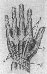 the muscles of the back surface of a brush