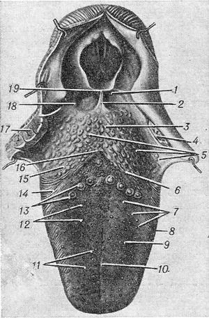 the structure of the anatomy of the tongue