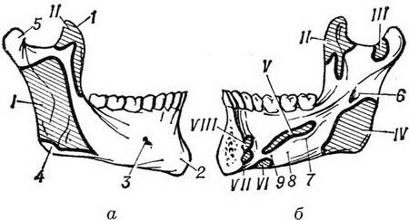 the lower jaw