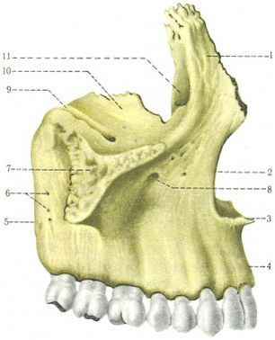 Upper jaw | Bones | Founder | Anatomy of human