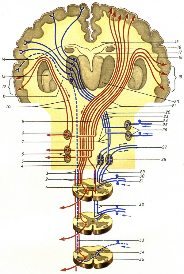 ascending and descending path spinal cord