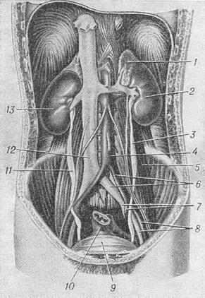 the topography of the ureter