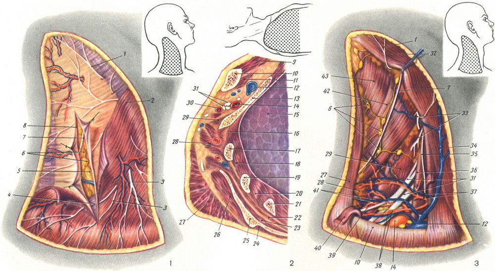 surface vessels and nerves supraclavicular region