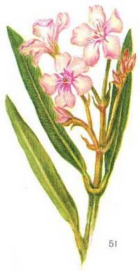 oleander ordinary