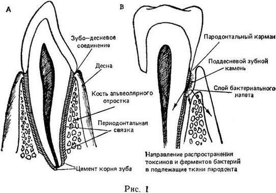 periodontal tissues structure