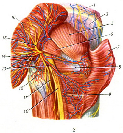 the muscles of the buttocks