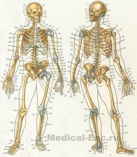 human skeleton in pictures