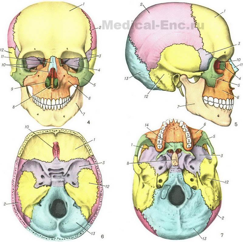 The human skull structure in pictures