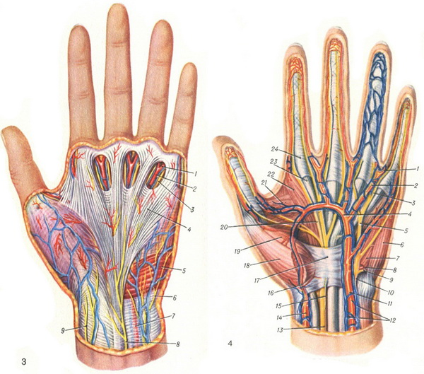 vessels and nerves of the left hand