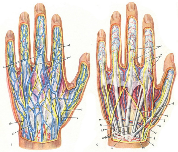 veins and nerves of the left hand
