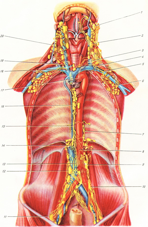 topography of thoracic duct
