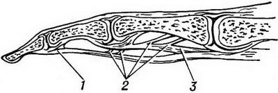 the structure of the tendon