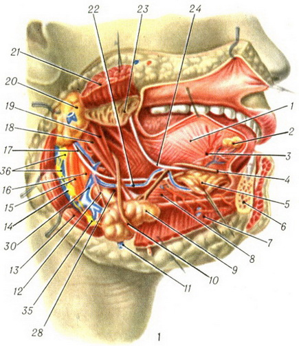 Submandibular Region Trigonum Submandibulare