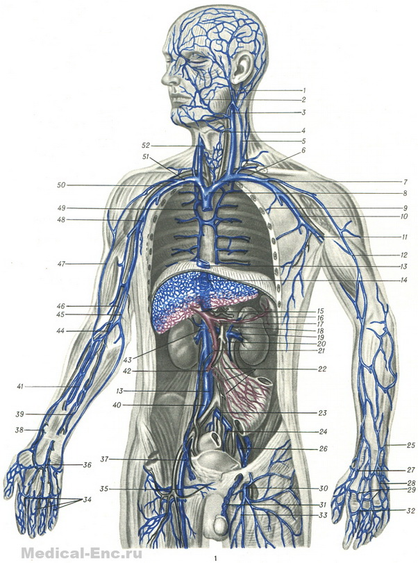 Vienna deep and superficial venous system diagram