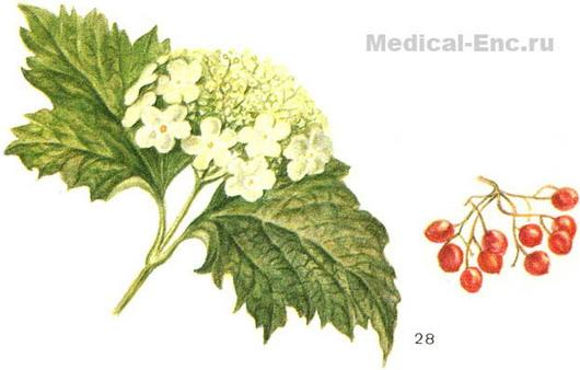 guelder-rose ordinary